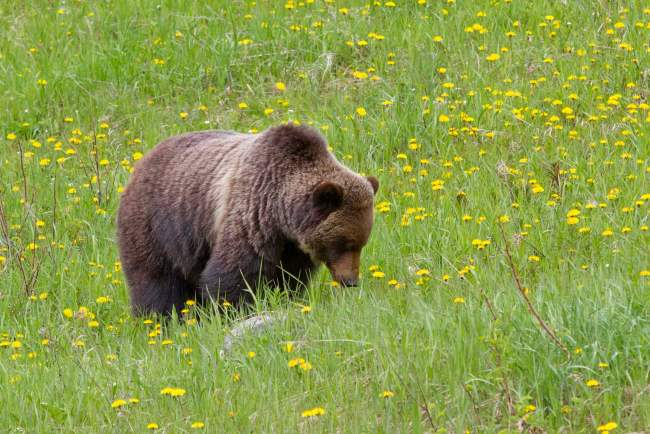 Lake Louise Ski Resort summer Grizzly viewing