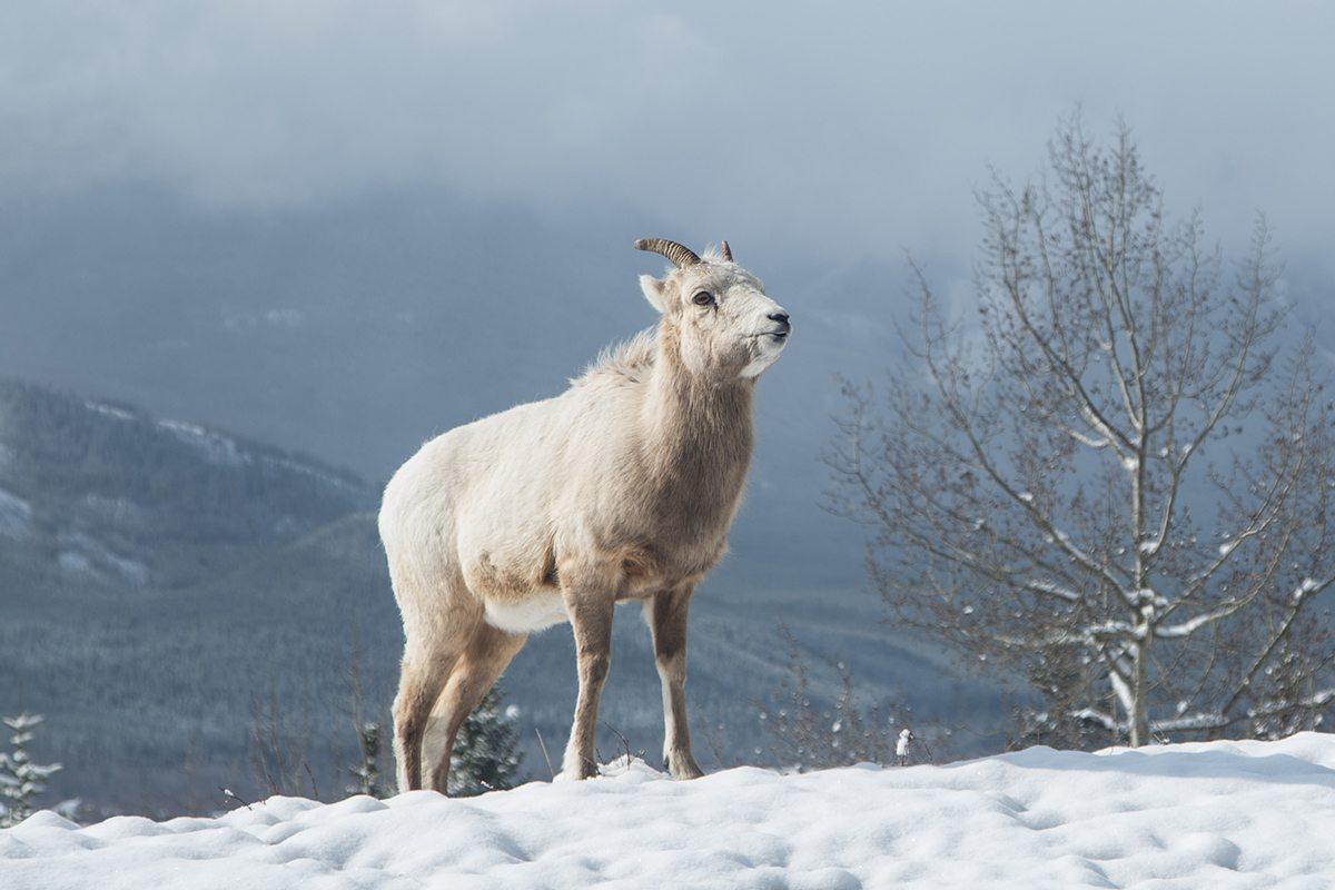 Banff Animals