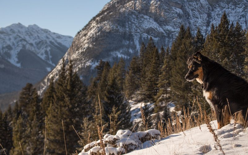 Lobo the dog explores Banff National Park with his owner. Photo: Luke Sudermann.