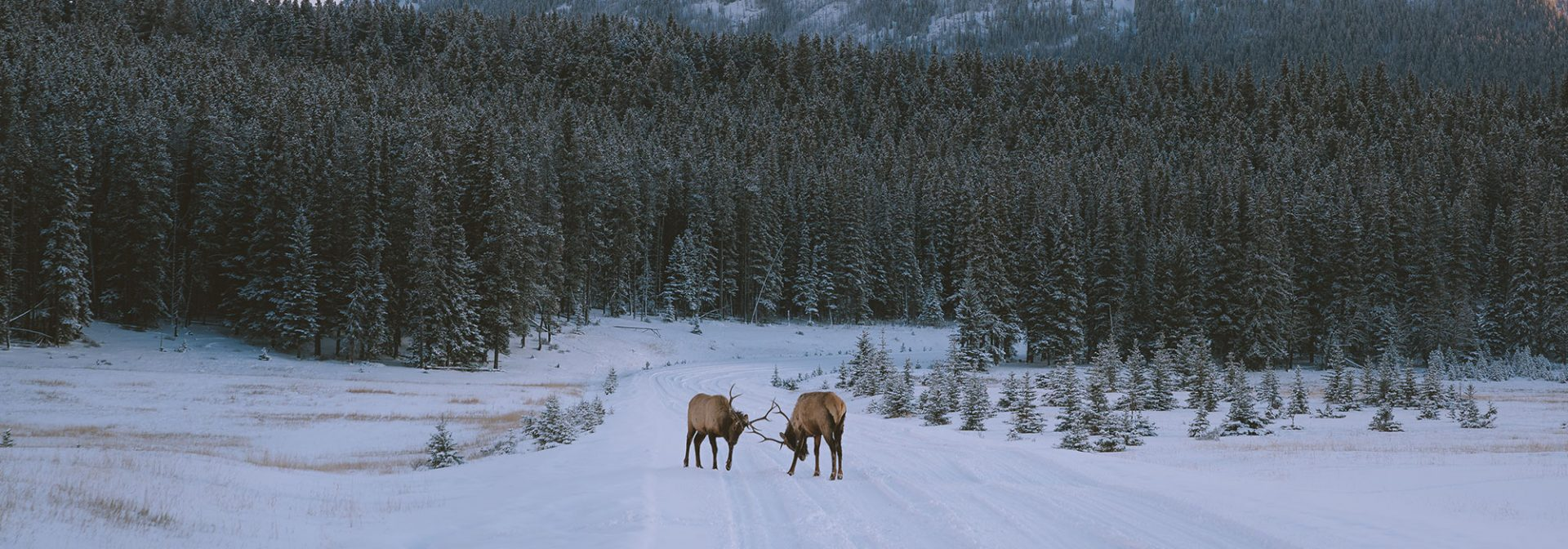 Elk on the road to Two Jack Lake. Photo by Jason Hill @jasoncharleshill