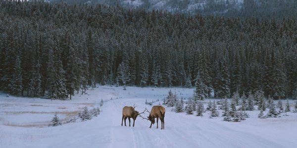 Elk on the road to Two Jack Lake. Photo by Jason Hill @jasoncharleshill|